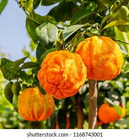 Citrus aurantium Corrugato or bitter orange or bitter mandarin on dwarf  tree. Orange citrus fruits grow on a small citrus tree.
