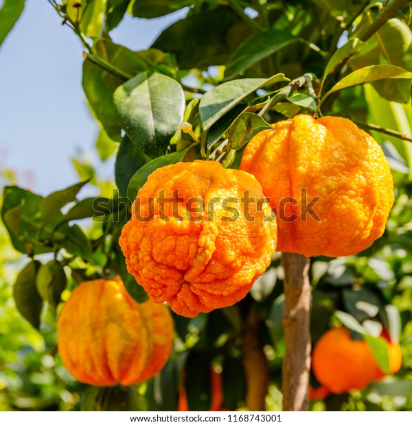 Citrus Aurantium Corrugato