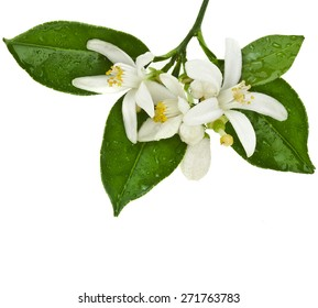 citrus blooming branch close up isolated on white background