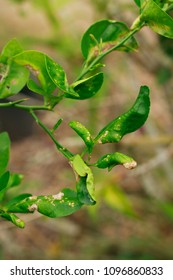citrus canker disease is   brown spots on the leaves limes