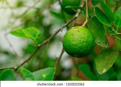 citrus canker disease causes by bacteria lime fruit canker major disease of citrus  lemon plantfamily