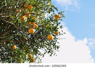 "Citrus fruit is called ""Yuzu"" in Japan"