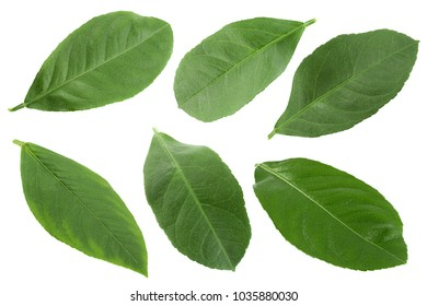 Citrus fruit leaf set isolated on white background