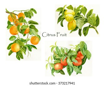 Citrus Fruit Poster with watercolor illustrations of oranges, lemons, tangerines and title citrus fruit in the center of the poster