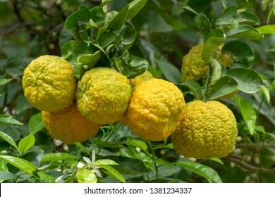 Citrus fruits of sour orange bergamot riping on thee close up