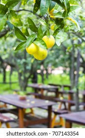 Citrus garden (L'agruminato) in Sorrento, Amalfi coast, Italy. Orange trees over an inside orchard cafe.