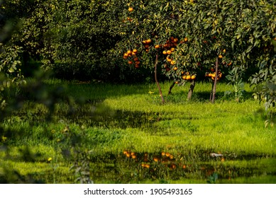Citrus is a genus of flowering trees and shrubs in the rue family, Rutaceae. Plants in the genus produce citrus fruits