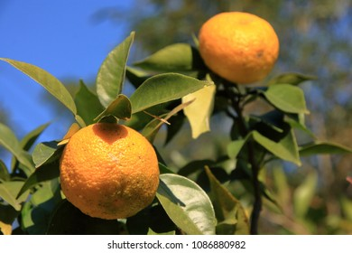 Citrus junos (Yuzu) Plants