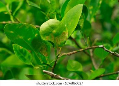 citrus leaf miner damage and Citrus Canker on lime leaves or lemon leaf