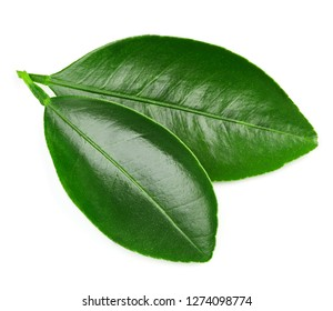 Citrus leaves isolated on a white background. Leaves Clipping Path