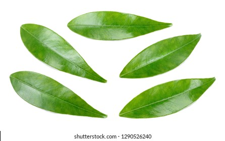 Citrus leaves isolated on a white background. Collection. Full depth of field.