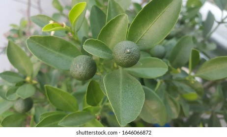 Citrus Lemon Small Evergreen Tree in the Flowering Plant Family Native to South Asia,
