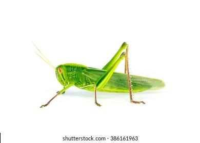 Citrus Locust/ Cotton Locust (Chondracris rosea brunneri) on white background
