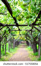 Citrus orchard (L'agruminato) in Sorrento, Amalfi coast, Italy. Lemon trees are supported by wooden constructions forming beautiful archways.