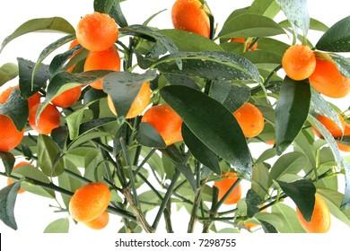 Citrus plant on white