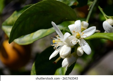 Citrus Sinensis Bloom, Orange Blossom