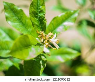 Citrus Sinensis Osbeck - Arancio - Pianta Floreale