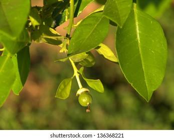 Citrus Spring Bud