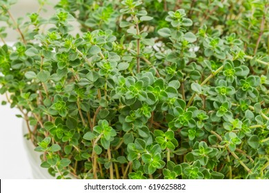 Citrus Thyme. Kitchen herb garden on the table. Green Thyme Bush. Quick and easy cooking recipes