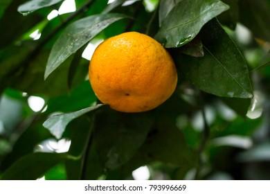A citrus tree. Citrus