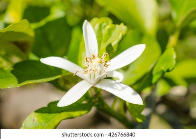 Citrus tree blossom, also known as azahar, in the Mediterranean spring