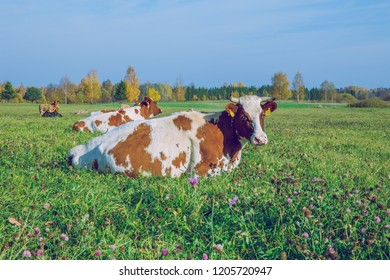 City Korneti, Latvia. Cows and meadow, autumn and sunny day. Travel nature photo 2018.