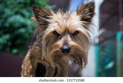 City life. Yorkshire Terrier for a walk in the port city.