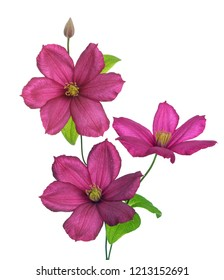 city of lyon clematis pink isolate on white