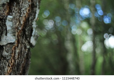 City Moscow tree birch Boke nature