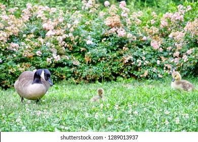 The City of New York, often called New York City (NYC) or simply New York (NY), is the most populous city in the United States. Canada Goose with goslings in Central Park