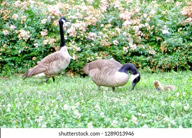 The City of New York, often called New York City (NYC) or simply New York (NY), is the most populous city in the United States. Canada Geese with gosling in Central Park