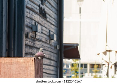 A city pigeon sits on an old wooden box at the market of Oulu, Finland. There are quite a lot of old wooden buildings around the market.
