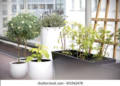 City terrace plants - lavender, daisy and raspberries