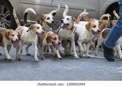 city walk with a pack of beagle dogs