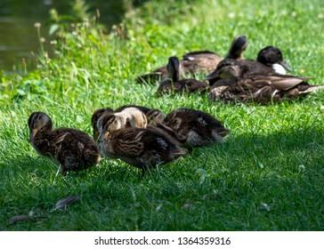 City wild ducks
