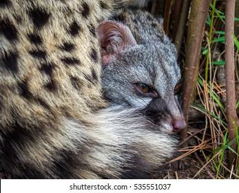 Civet / Genet cat (Genetta genetta)lying down hidden in the bushes