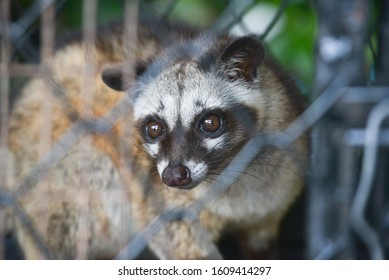 Civiet Cat in cage looking at camera.Asian palm civet is a viverrid native to South and Southeast Asia.