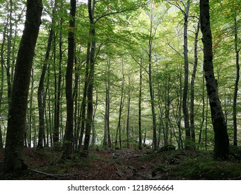 Civitella Alfedena - Beech forest along the Camosciara path