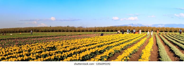 Clackamas County, Oregon - March 31, 2019 : Scene of Wooden Shoe Tulip Festival in spring season