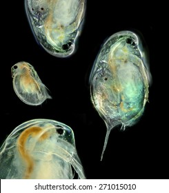 Cladocera -  daphnia head (photography from microscope 50x)