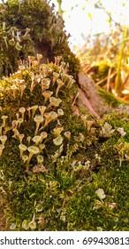 Cladonia lichen in bloom,  macro