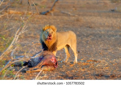 CLAIMING THE KILL. African lion (Felis leo) Pride male with young buffalo carcass
