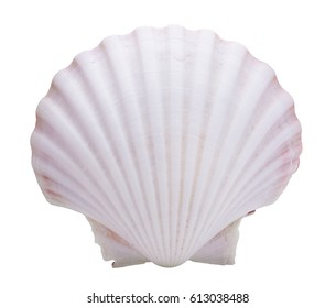 clam mollusc shells isolated on white background