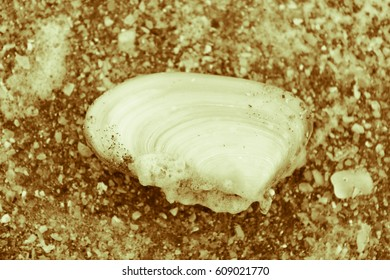 Clam in The Sand Beach