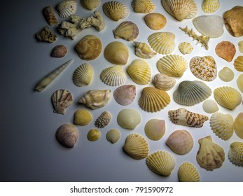 clam shells on a white background