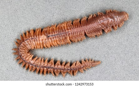 Clam worm (Nereis sp.) (dorsal view)