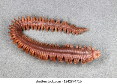 Clam worm (Nereis sp.) (ventral view)
