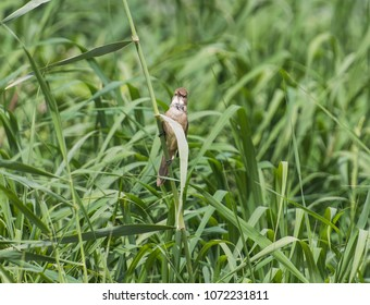 Clamorous reed warbler acrocephalus stentoreus perched on reeds along the banks of a river