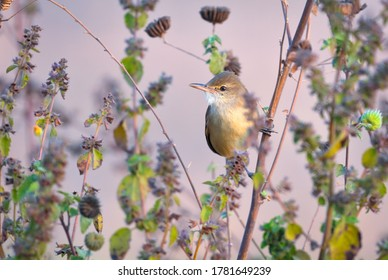 The clamorous reed warbler is an Old World warbler in the genus Acrocephalus. It breeds from Egypt eastwards through Pakistan, Afghanistan and northernmost India