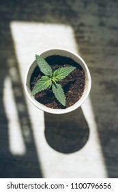 clandestine cultivation of cannabis marijuana outside the law, a young marijuana plant in a pot